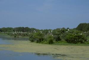 garza, colonia, construir nidos, árboles, orilla del agua