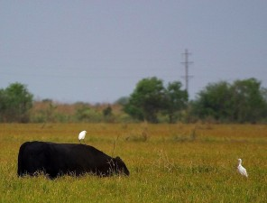 egret, riding, cow