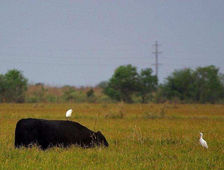 牛に乗って、白鷺