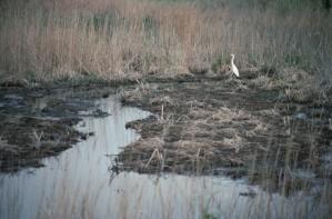 백로, 연못