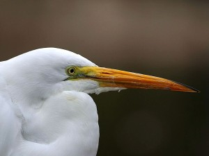 egret, bird, head