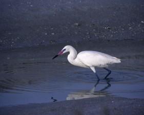egret, standing, water, bank