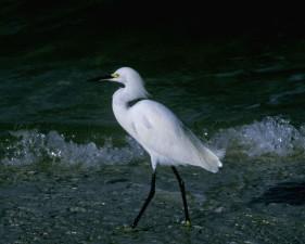 นกกระยาง เดิน ทำลาย คลื่น ชายหาด