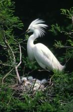 egret, white bird, green leaves