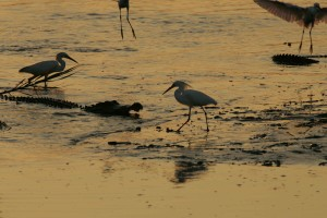 egrets, alligator