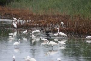 garzas, ibis, pájaros, pantano, egretta thula, plegadis falcinellus
