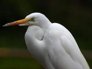 egrets, beaks, feathers, birds