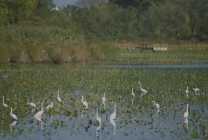 egrets, feeding, water, ardea alba