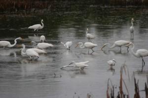 egrets, standing, marsh, feeding, ergetta, thula