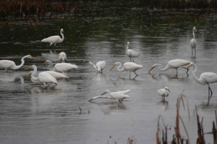 egrets, stående, marsh, fodring, ergetta, thula