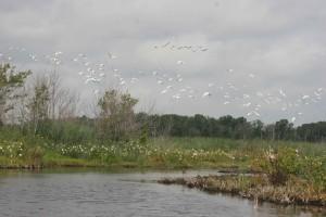 egretta, thula, egrets, flight