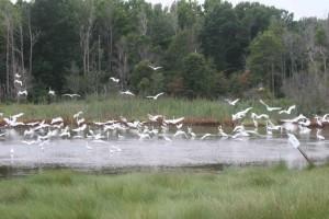 troupeau, blanc, aigrette, oiseaux, egretta thula