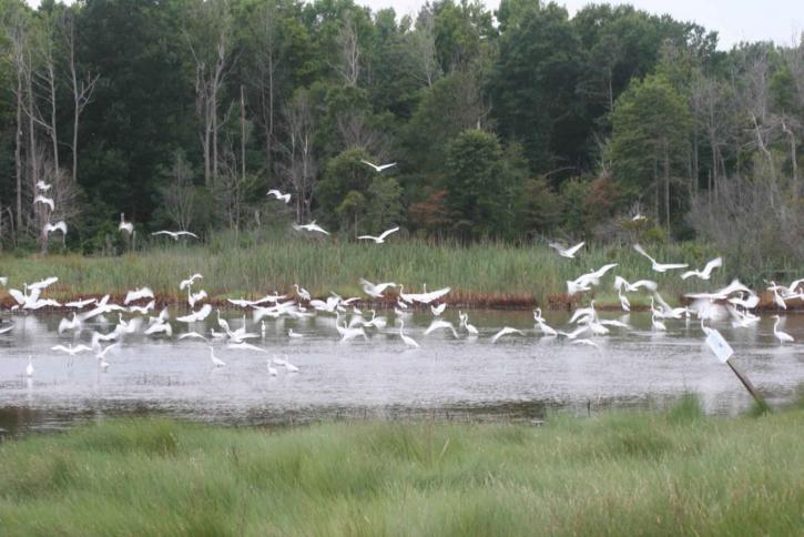 стадо, бяла, бяла чапла, птици, egretta thula
