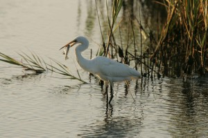 great egret, feeds, fish, refuge, waters