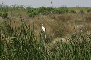 great egret, snag