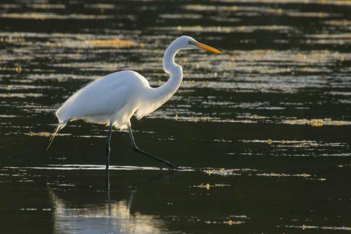 great egret, strolls, water, search, food