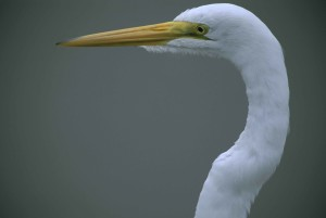 up-close, head, neck, great egret, casmerodius albus