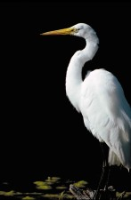 up-close, standing, great egret, bird, ardea alba