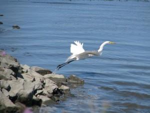 Airone bianco maggiore, Ardea alba, volo