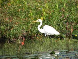 Airone bianco maggiore, Ardea alba, la fauna selvatica