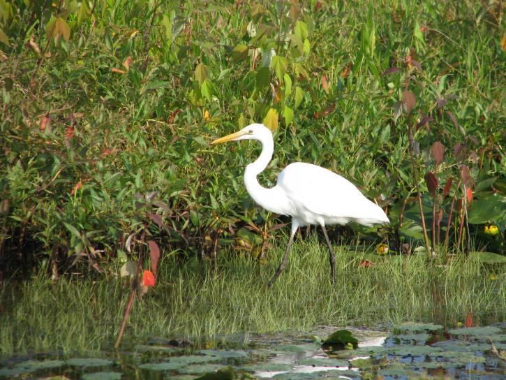 great egret, ardea alba, wildlife