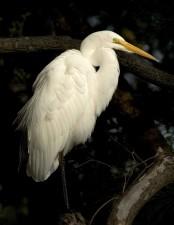 great egret, bird, ardea alba