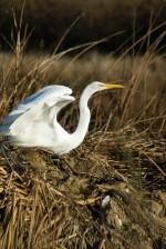 great egret, bird, dried, high, grass