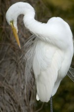great egret, bird, preening, ardea alba