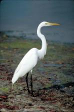großer Reiher, Vogel, stehend, flaches Wasser, Ardea alba