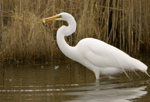 great egret, catches, fish