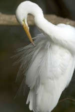 great egret, cleaning, feathers, casmerodius albus