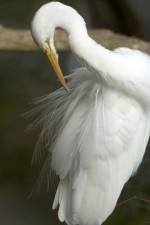 grande aigrette, le nettoyage, les plumes, Casmerodius albus