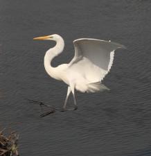 great egret, flight, landing, coast