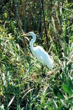 great egret, high, green, grass