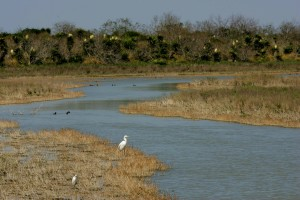 great egret, stands, water, waiting, fish