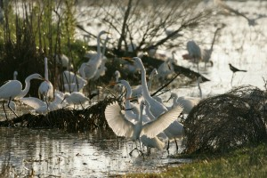 great egrets, birds, flourish, refuge, waters