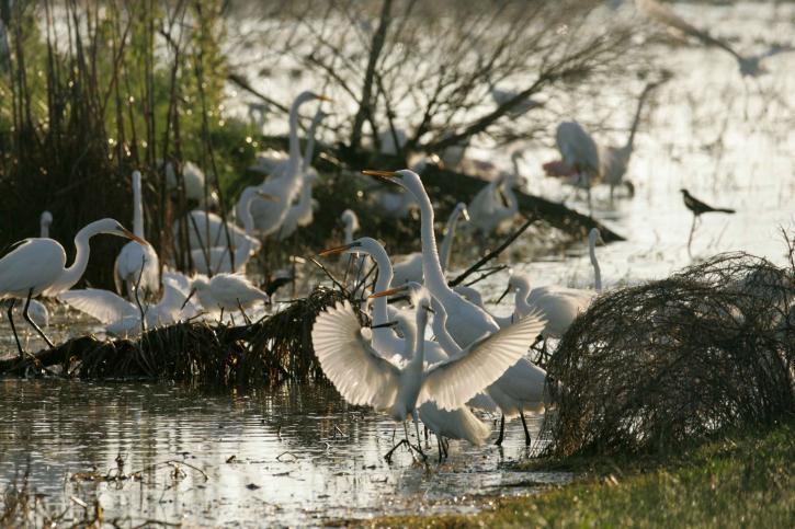 grandes aigrettes, oiseaux, flourish, refuge, eaux