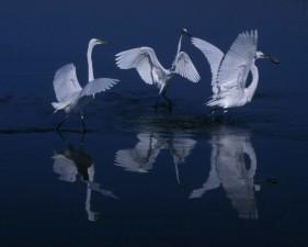 great egrets, water, dusk