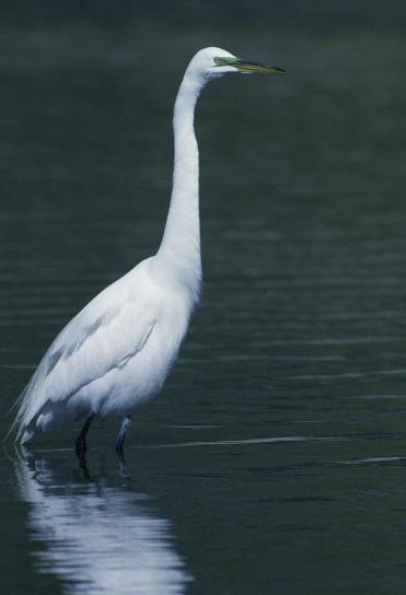 nagy, fehér, a kócsag, a madár, a casmerodius albus