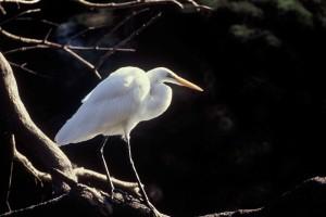 groot, wit, zilverreiger, vogel, tak, casmerodius albus