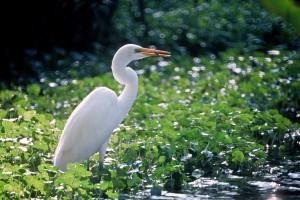 grand, blanc, aigrette, oiseau, se dresse, vert, marais, plantes, Casmerodius albus