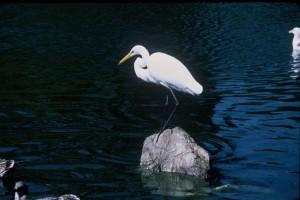 nagy, fehér, kócsag, madár, állványok, szikla, víz, casmerodius albus