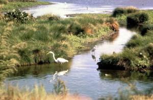 white, egret, bird, swam, water