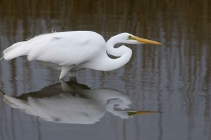large, white, wading, bird, pauses, refuge, water