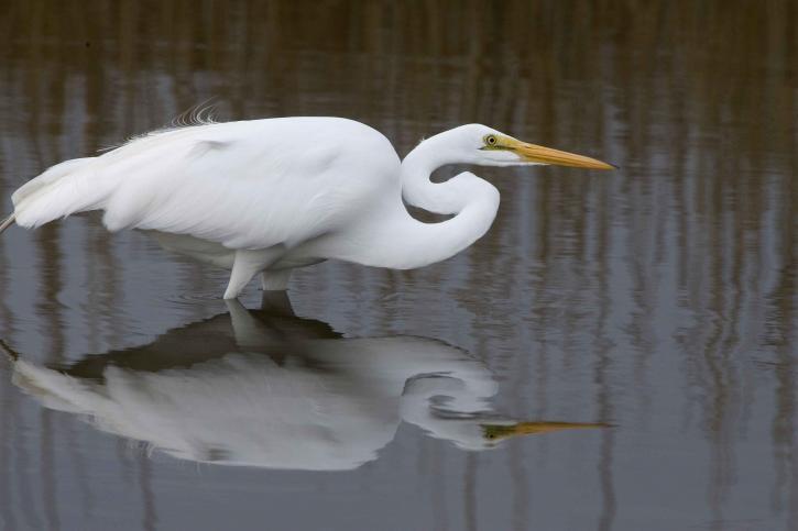 grand, blanc, patauger, oiseau, pauses, refuge, eau