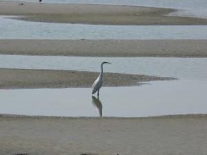 little, egret, somme, estuary