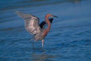 reddish, egret, bird