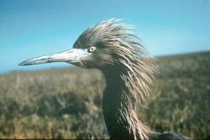 redish, egret, bird, head