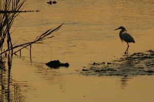 silhouette, egret, American, alligator
