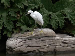 verschneiter, Egret, steht, nach oben, riesigen Felsen
